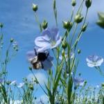 Ľanový olej a ľanové semienka - skvelý zdroj omega-3 kyselín
