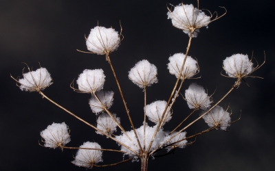 Nature_Plant_Snow_Winter_62583_detail_thumb