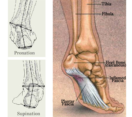blog05_13_09_foot_anatomy1